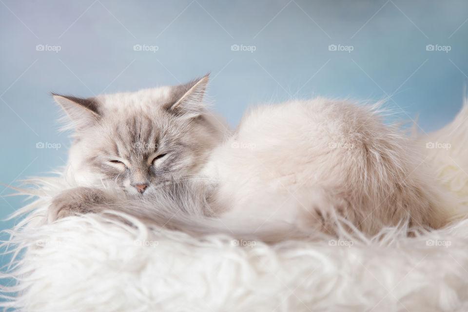 Silver-tabby Neva masquerade (Siberian color-point) cat portrait on light blue background