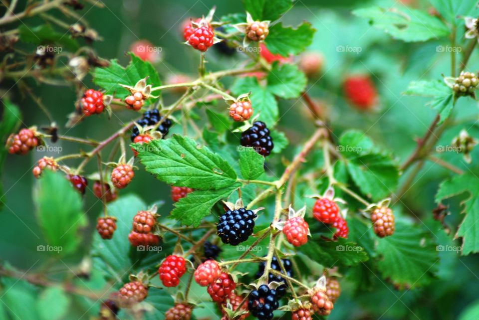 Berry picking time