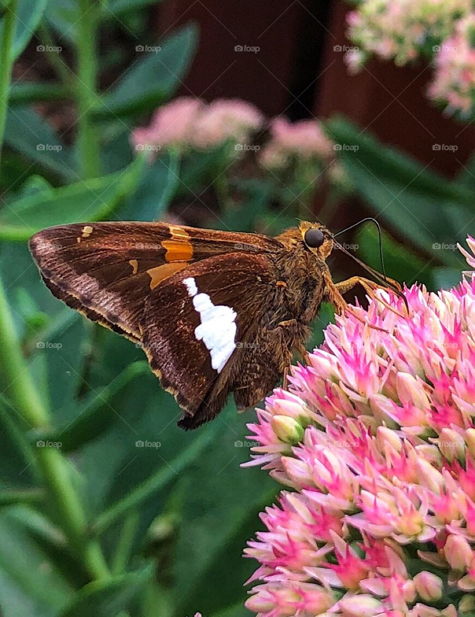 Painted lady butterfly and sedum flowers