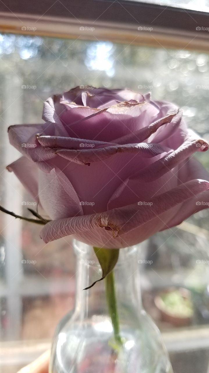 Lavender Rose!!