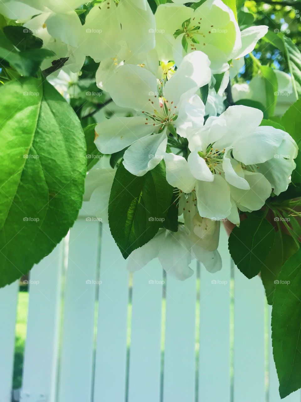 White flowers hanging on a tree paired with bright green leaves in front of a white fence.