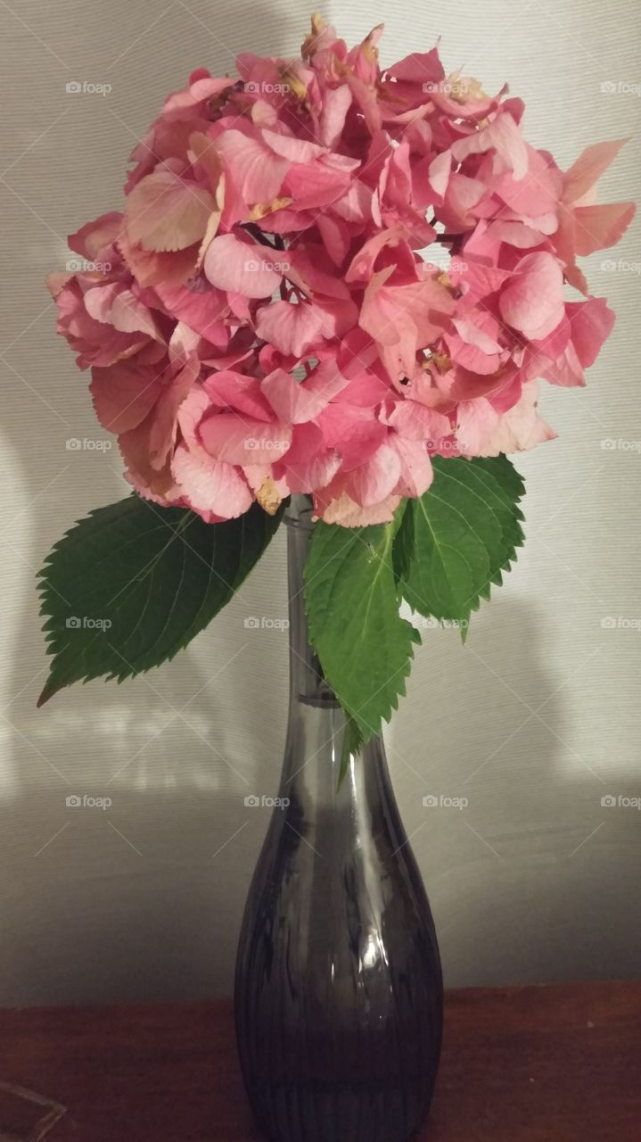 hortensia in a vase