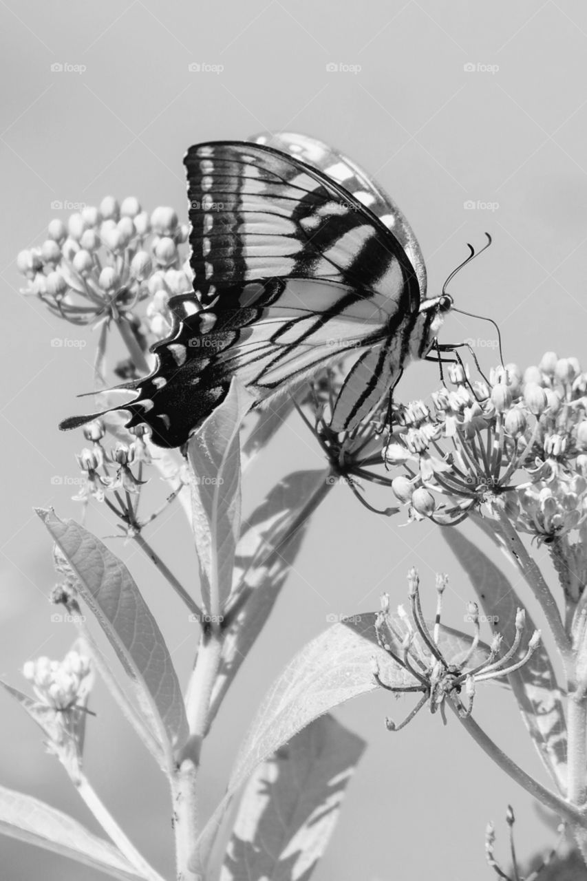 Black and white eastern tiger swallowtail butterfly draws nectar from the blooms of a swamp milkweed at Yates Mill County Park in Raleigh North Carolina.