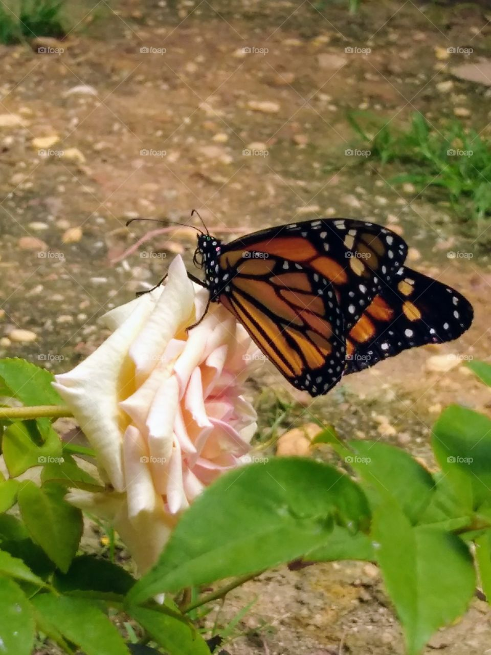 butterfly pm they rose