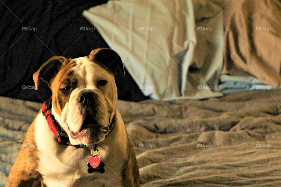 bulldog pose