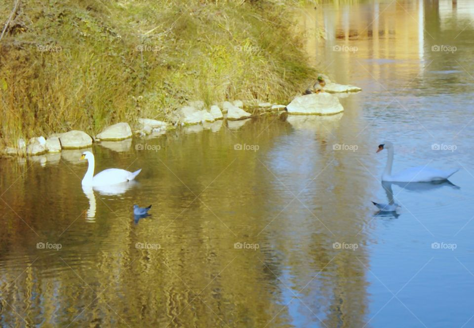 The Swans Swimming in the River