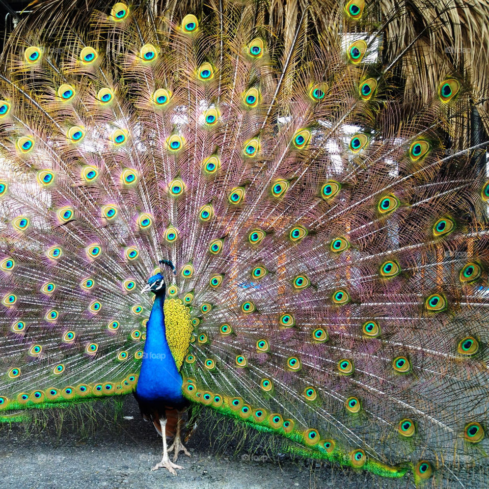 bird feathers colorful peacock by mary-schneider
