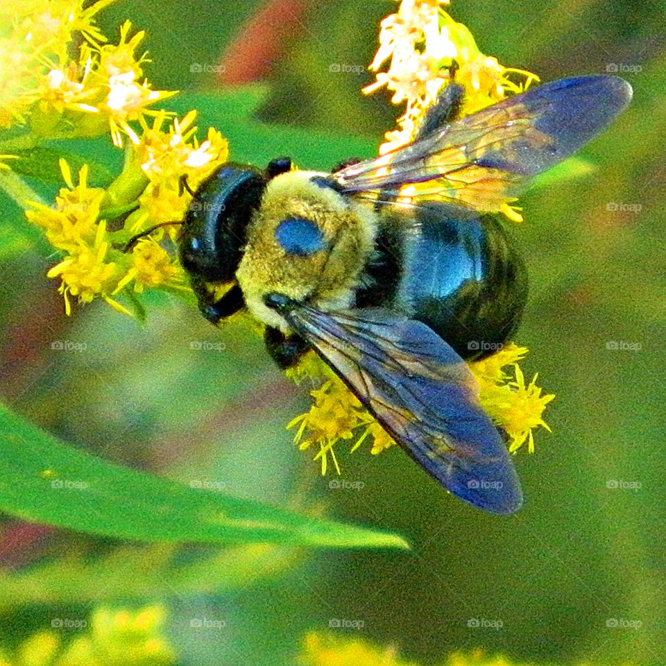 Ole Dusty - To Bee or not To Bee - a bee is performing his part in the stabilization of nature, extracting pollen