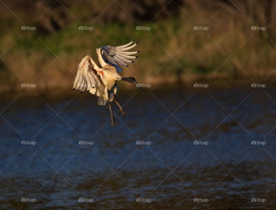 White ibis about to land
