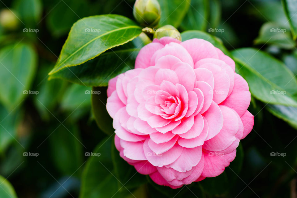 Pink flower blooming at outdoors