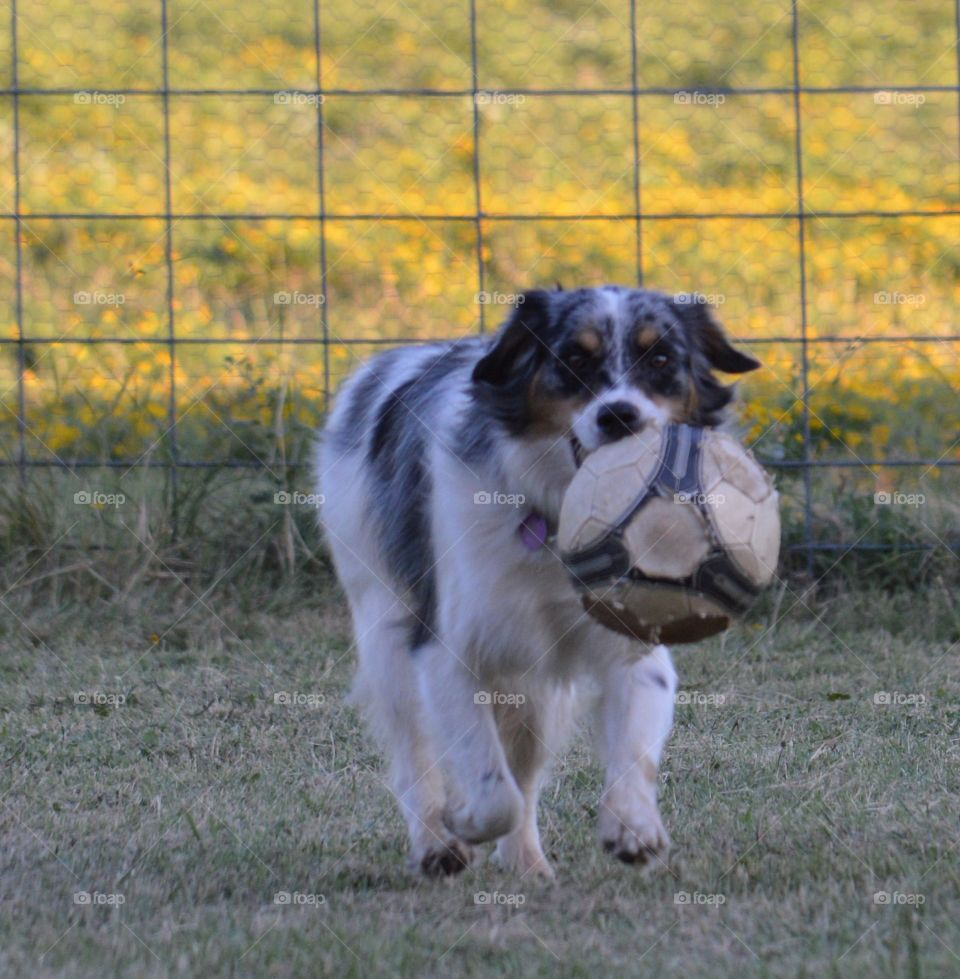 Miniature Australian Shepherd playing with a soccer ball.