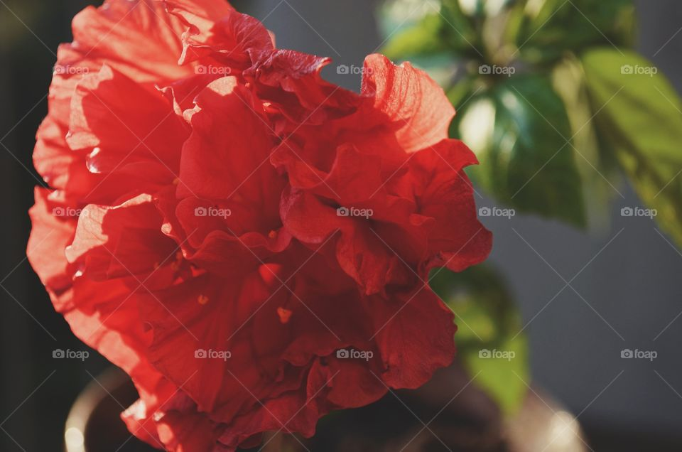 A romantic red flower growing in my garden. Beautiful flowers are one my favorite things to photograph.