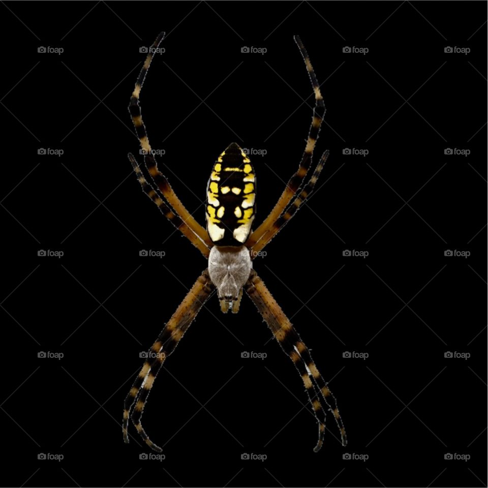 Beautiful garden spider on a black background