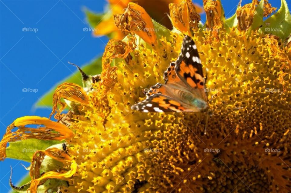 Beautiful capture of this butterfly on this Sunflower. Captured with my Nikon Camera