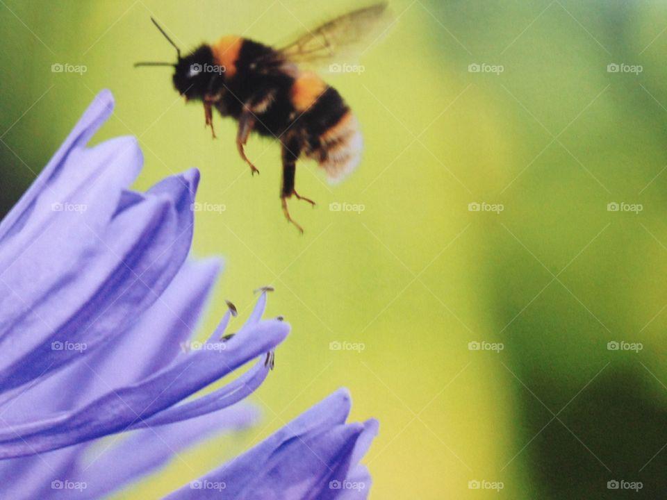 Bumble bee purple flower