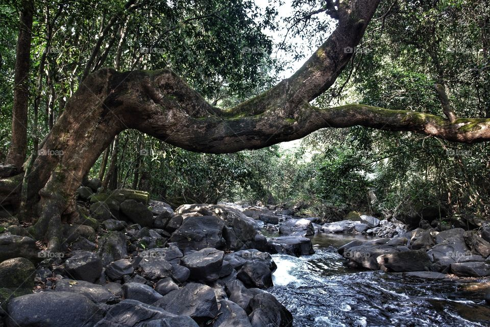 Tree over river, Goa, India . Tree over river, Goa, India