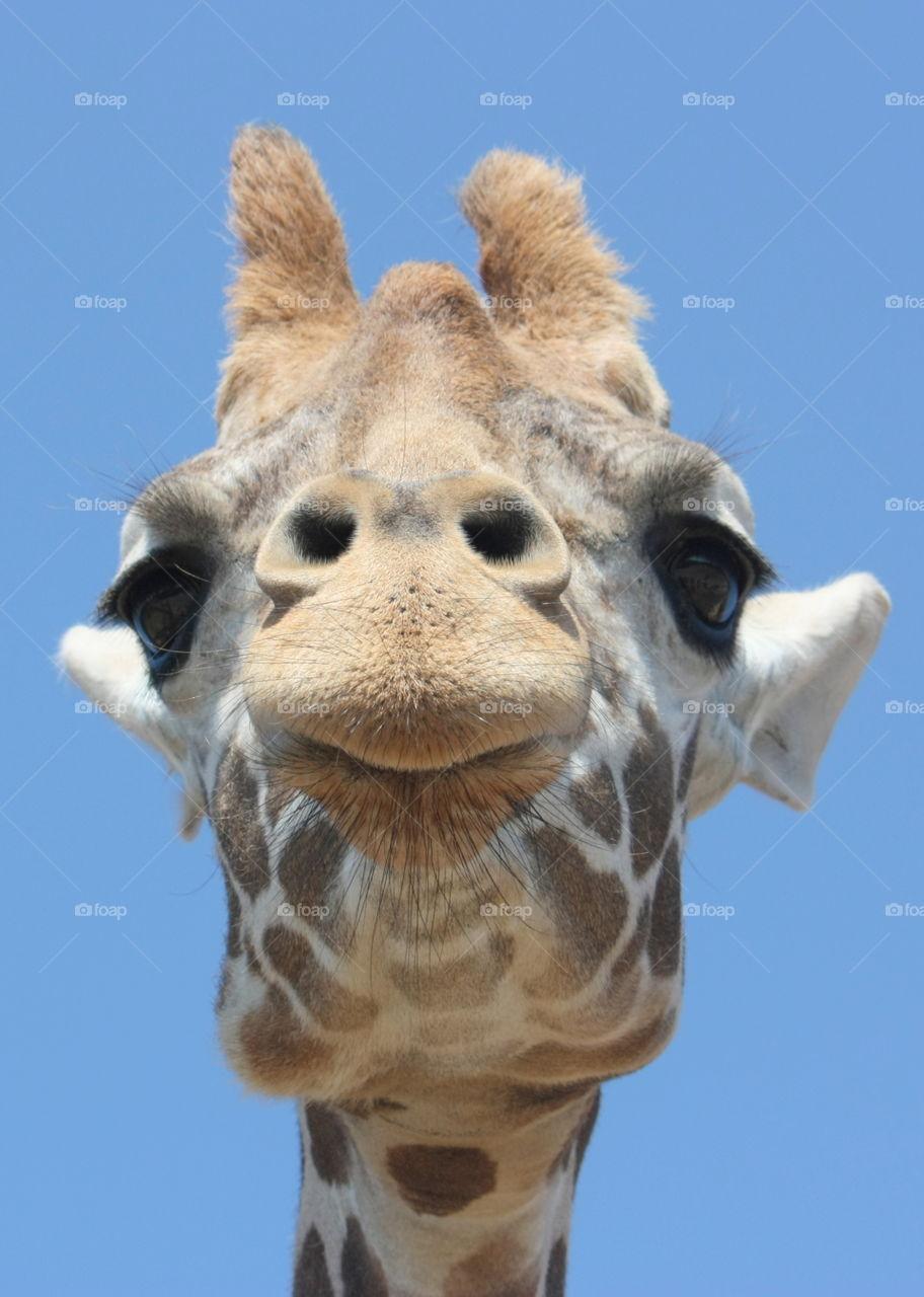 Extreme giraffe close up