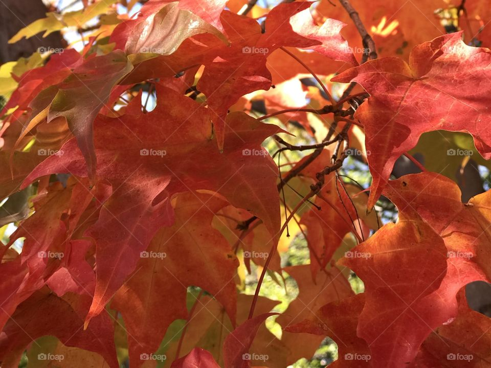 Beautiful contrast of the bright fall colors of large maple leaves on a sunny and clear fall day.