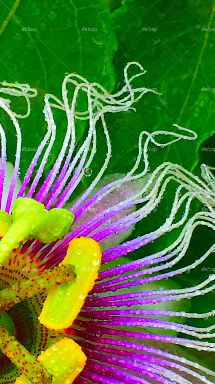"""Wet Passion Flower"". Rainy Day"