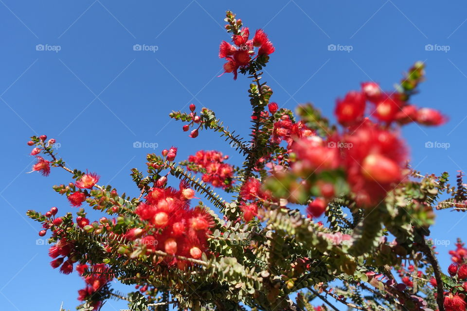Red flower called scarlet featherflower with blue sky