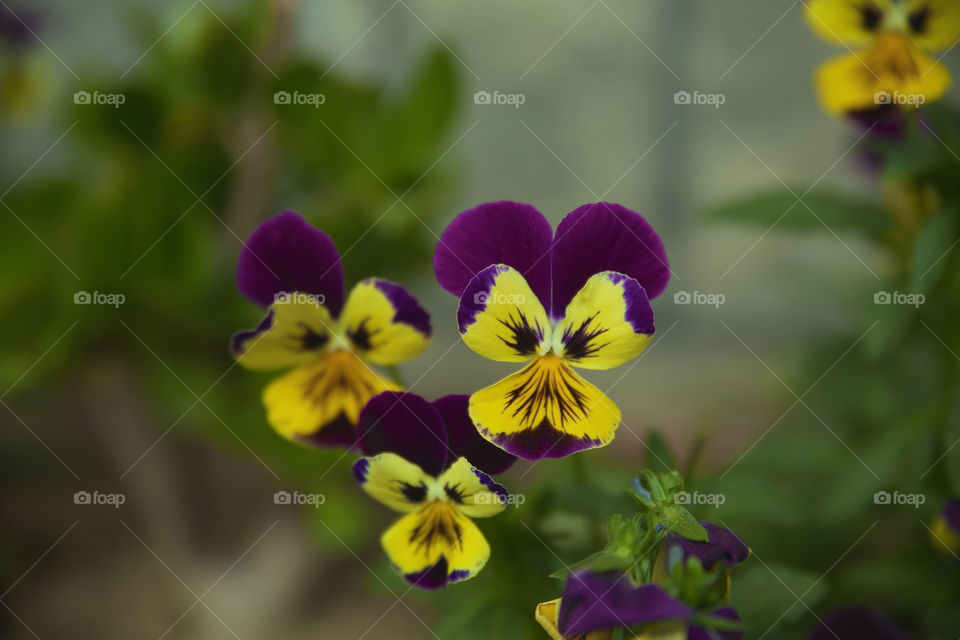 Tricolor pansy flowers in bloom
