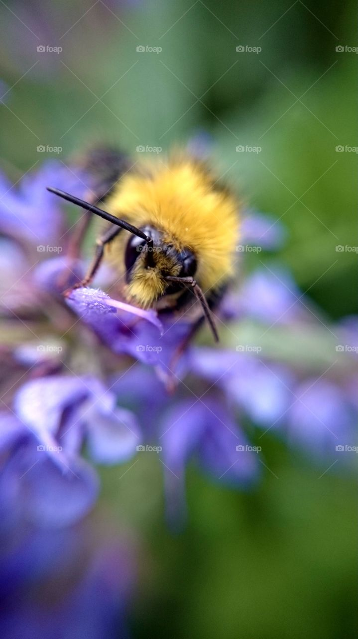 Close up on a bumblebee