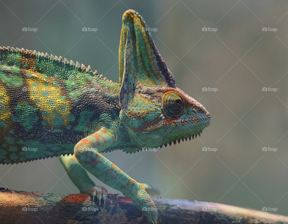 Lizard, Reptile, Chameleon, Flying Dragon, Animal
