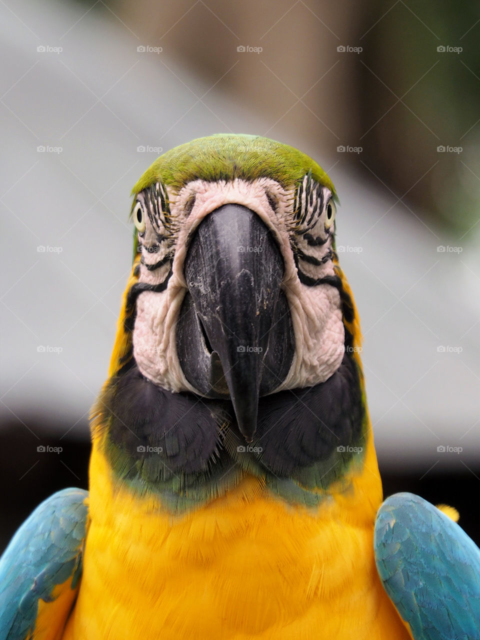 Portrait of a Blue and Yellow Macaw. Blue and Yellow Macaw facing camera straight on