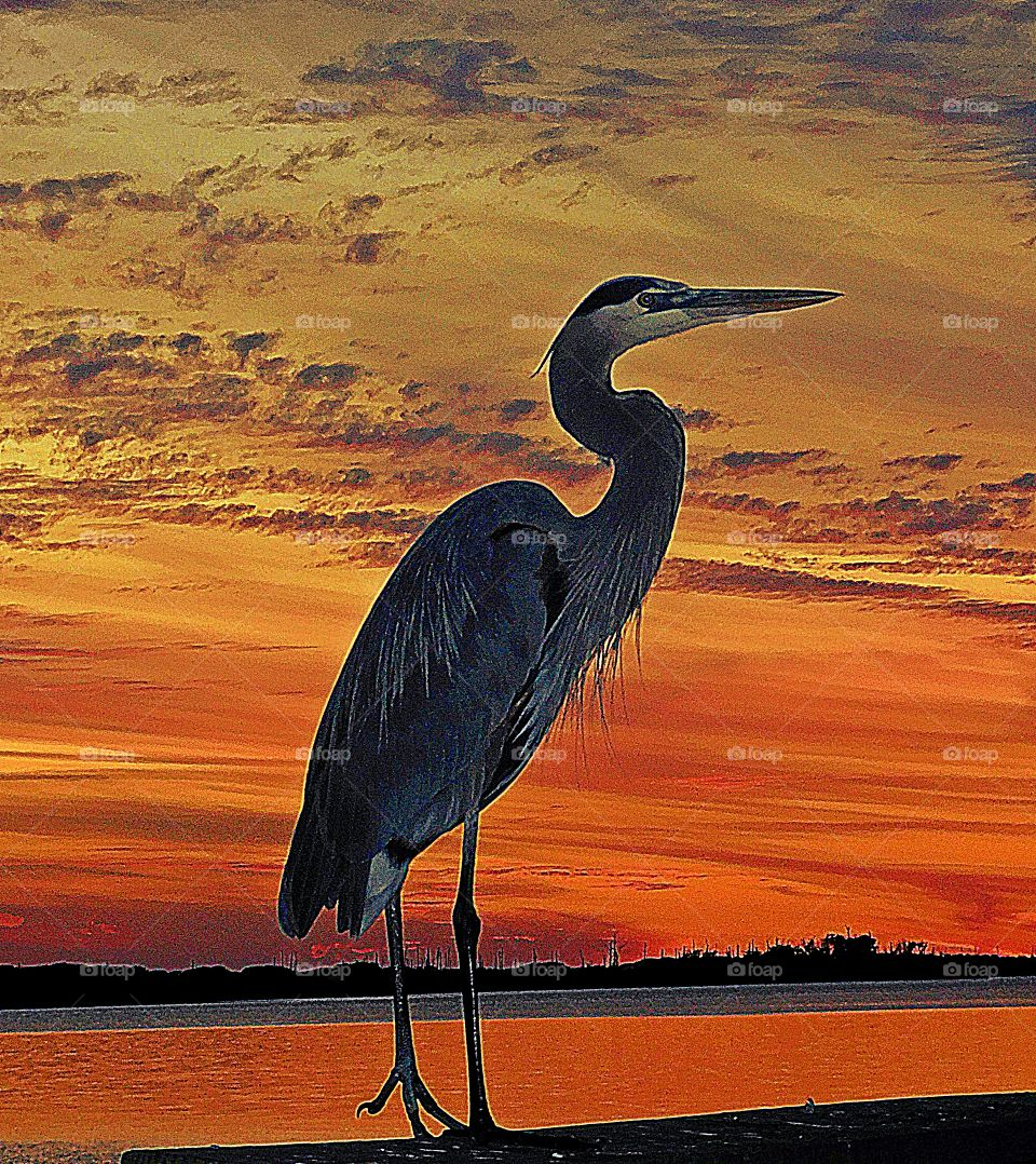 Sunrise, sunset and the moon - A Great Blue Heron poses in the magnificent multicolored sunset