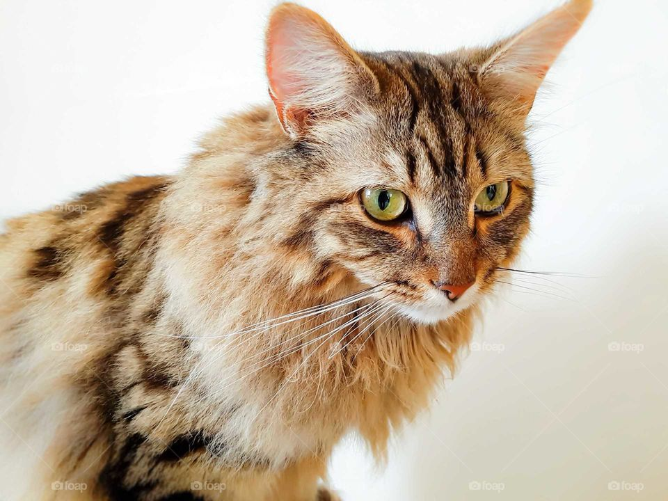 A tabby cat looking away