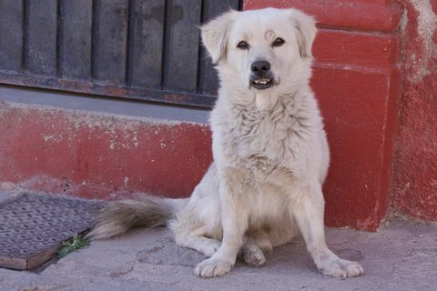 A white dog on the street in San Miguel de Allende, Mexico.