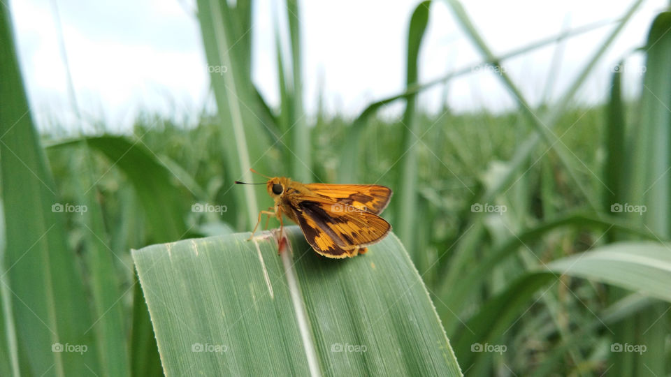 Insect photography, The brown coloured spotted butterfly, moth with spreading wings sitting on sugarcane leaf having blur background.