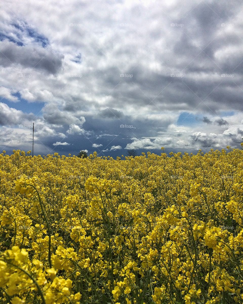 Rapeseedfield with clouds