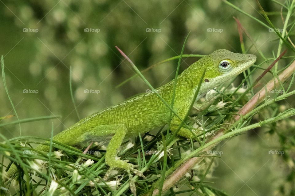A Carolina anole, also called a green anole, scrambles in the bushes at Yates Mill County Park in Raleigh North Carolina.