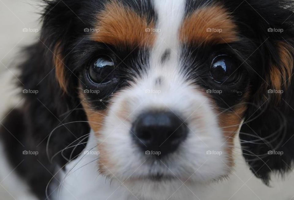 Walter the puppy practising his sad eyes whilst begging for food. Does anyone feed this dog? King Charles cavalier spaniel puppy stares at camera.