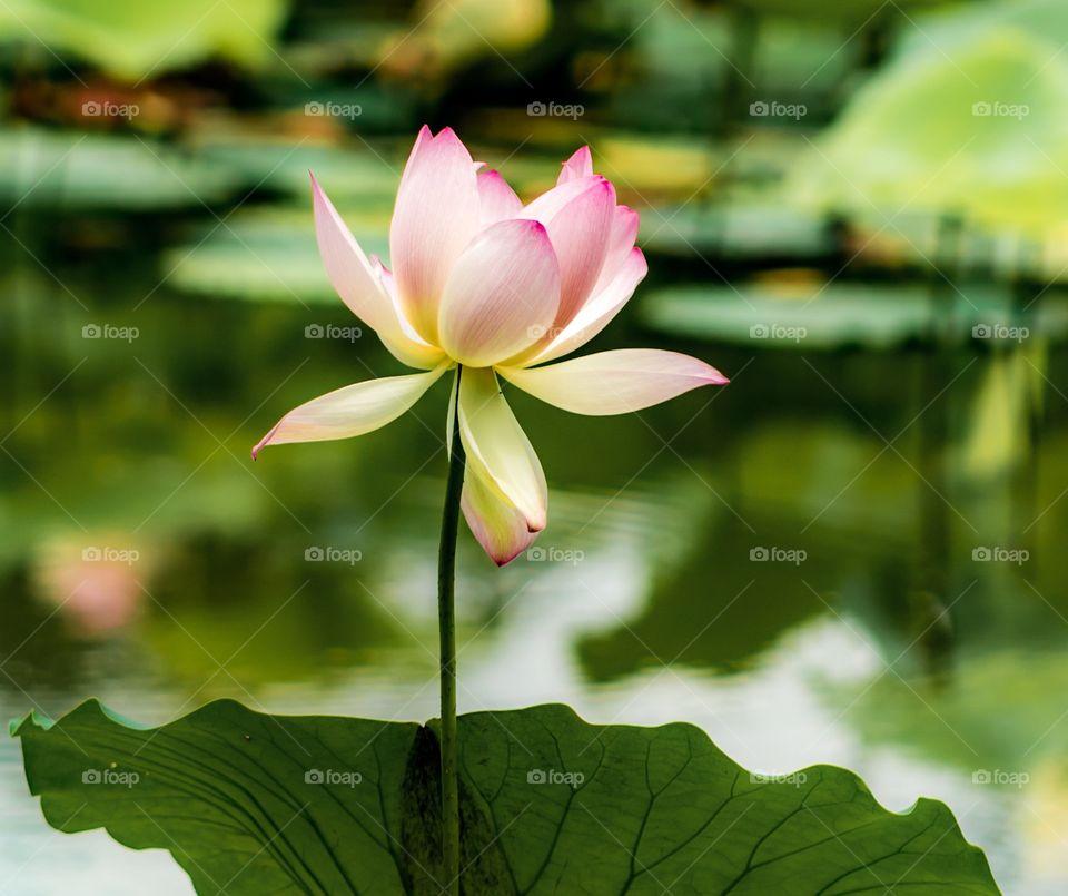 Colorful lotus flower