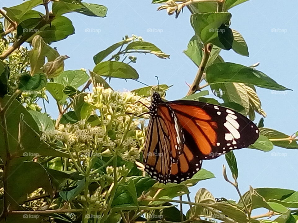 butterfly 2018-01-16 017  #আমার_চোখে #আমার_গ্রাম #nature #butterfly #animalia #arthropoda #insecta #lepidoptera