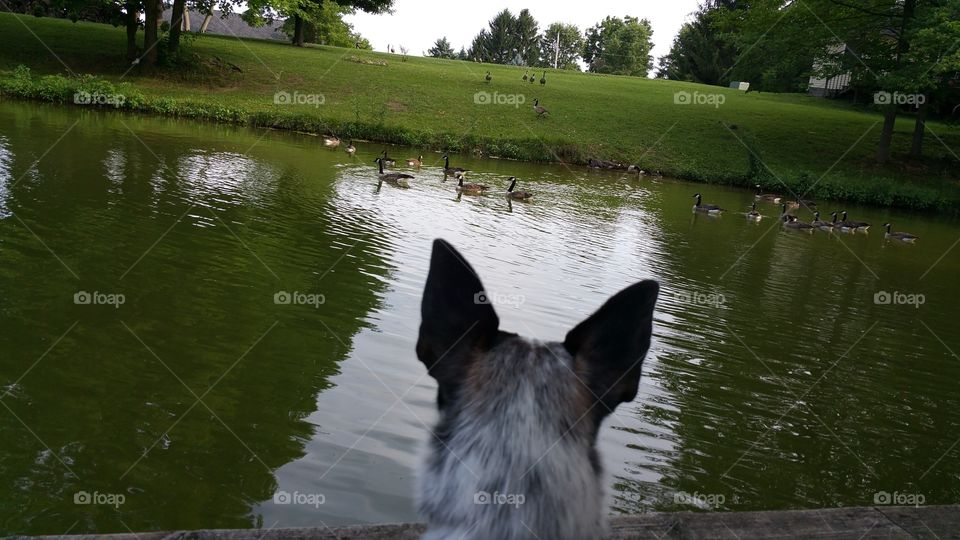 Buck wants to chase the geese