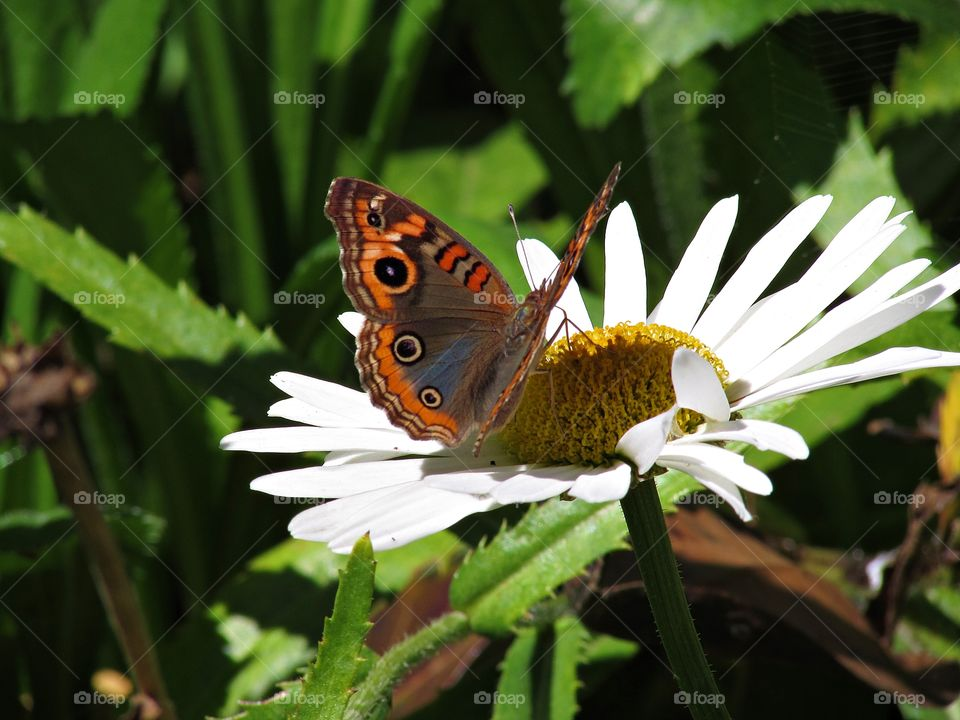 A butterfly on a White flower. butterflies are insects beautiful and charismatic