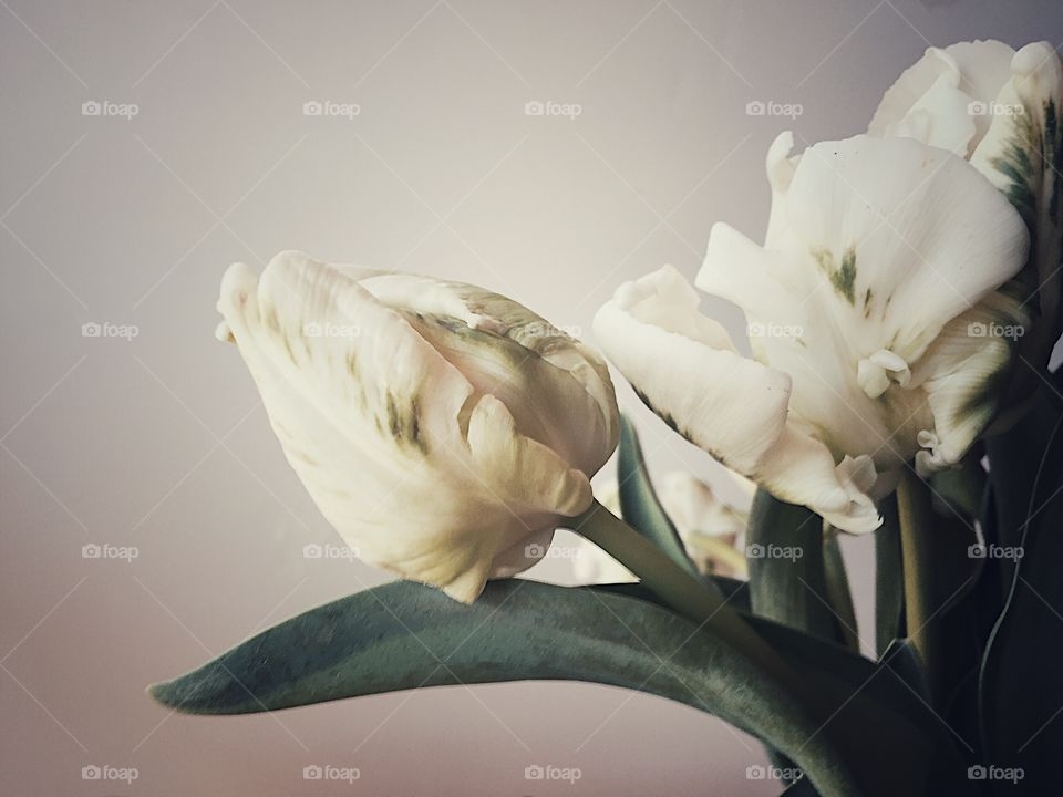 White tulips with green markings