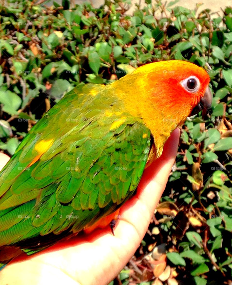 Sun parakeet perching on woman hand