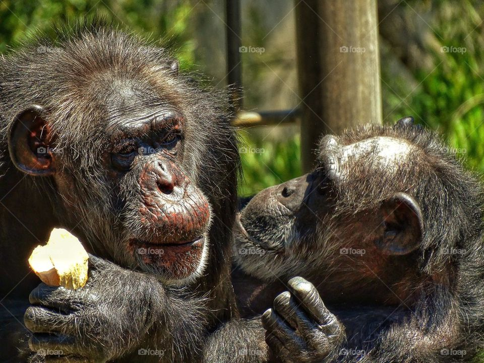 Chimpanzees Sharing A Snack