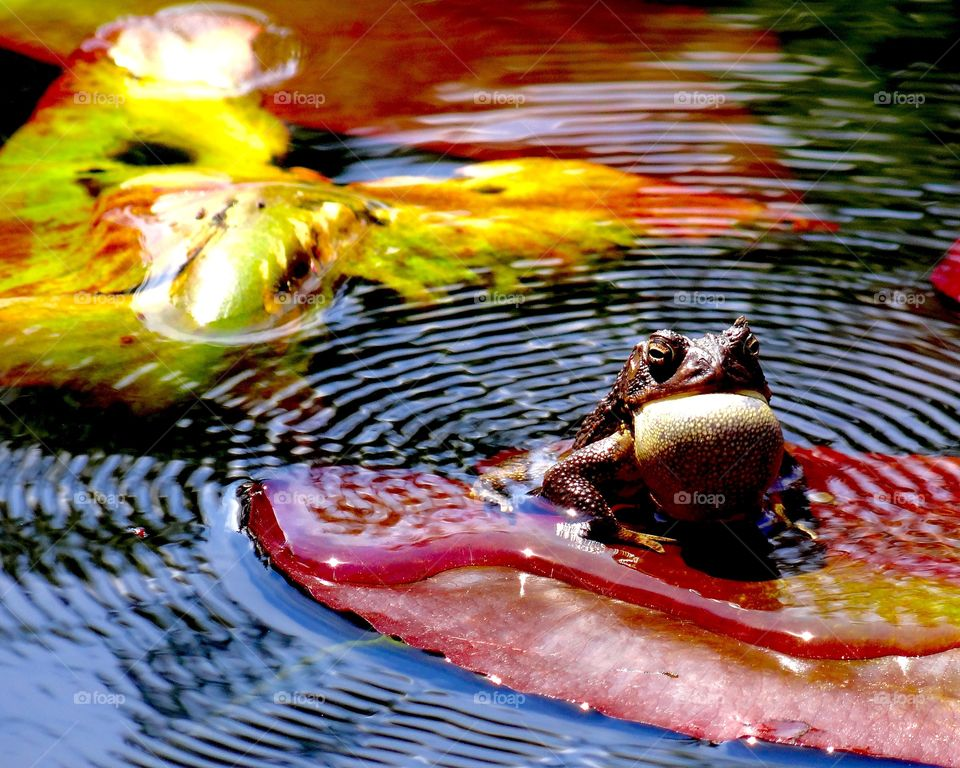 toad on a red lily pad making the call out to all the ladies. His mating call sends ripples out across the water.