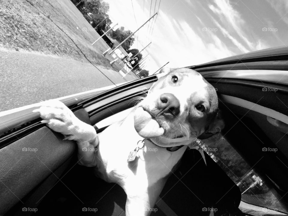 Rescue pitbull dog going for a car ride with his tongue sticking out 😜