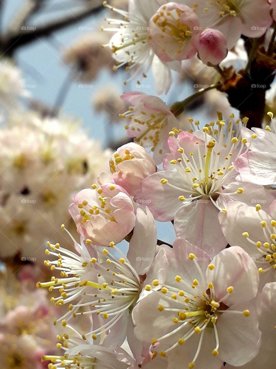 Flowers are wonderful on Prunus nigra'Princess Kay' tree