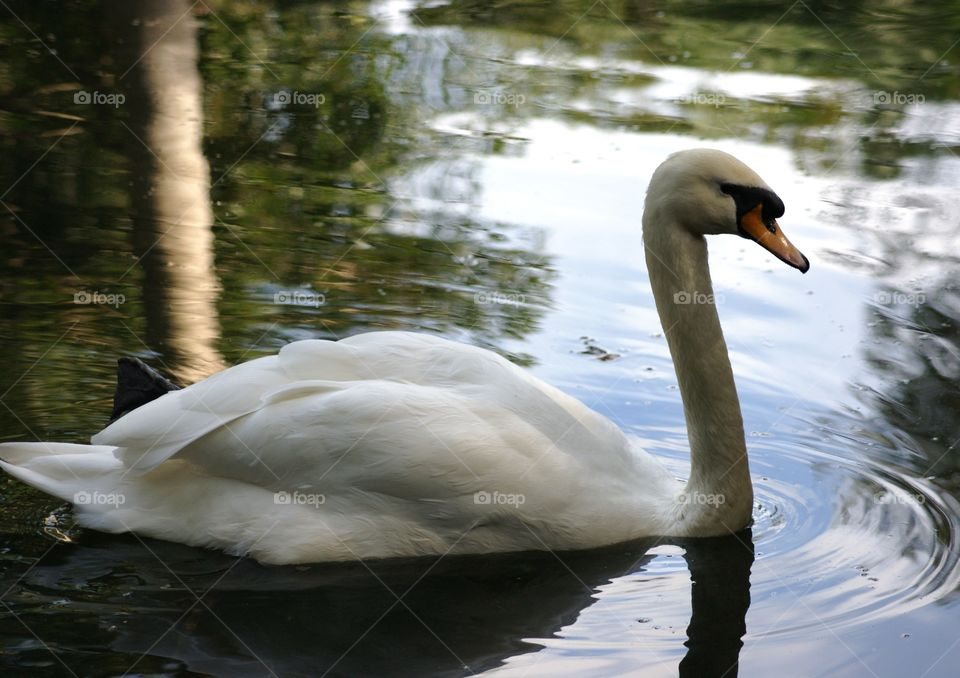 swan. watching the graceful beauty of this swan