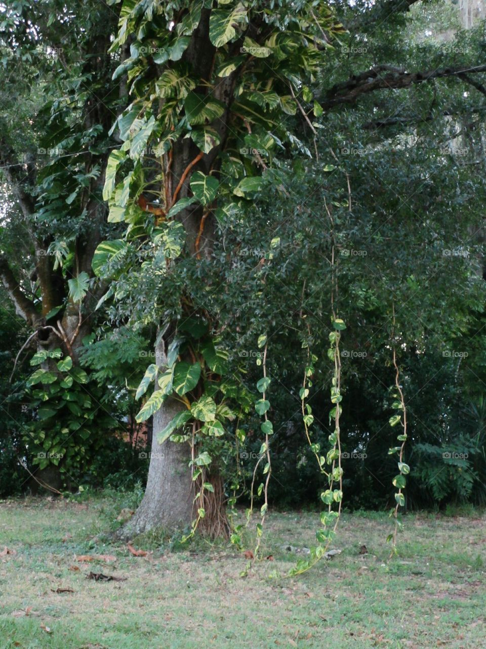 Philodendron vines hanging down from tree
