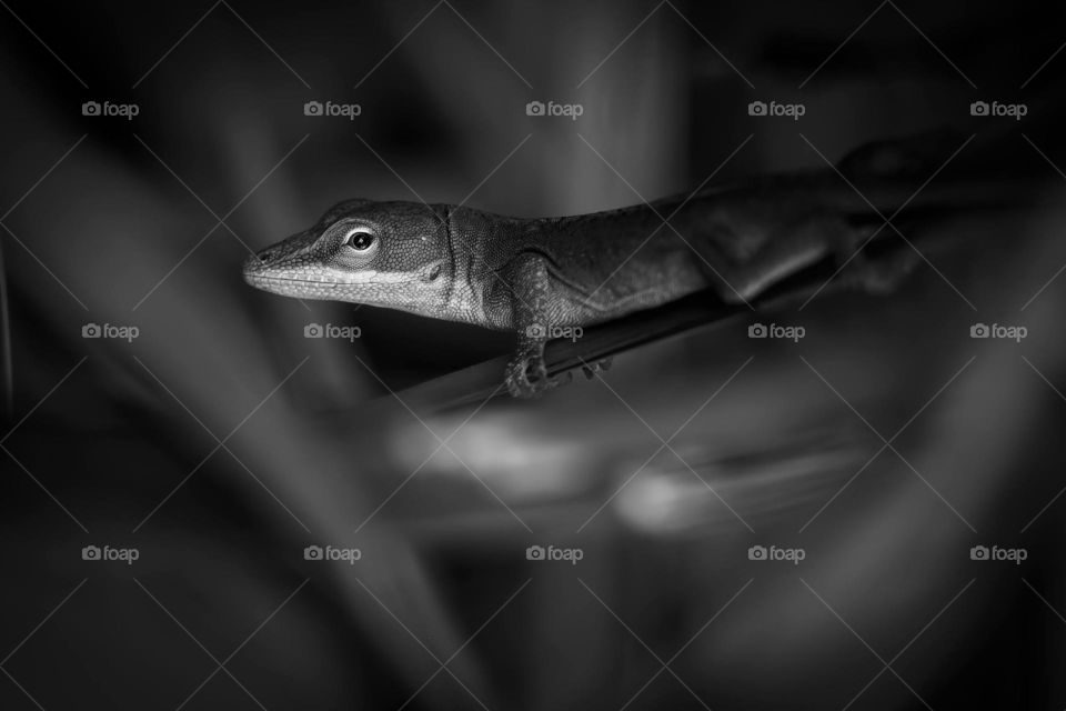 A Carolina Anole emerges from the shadows into the soft light.