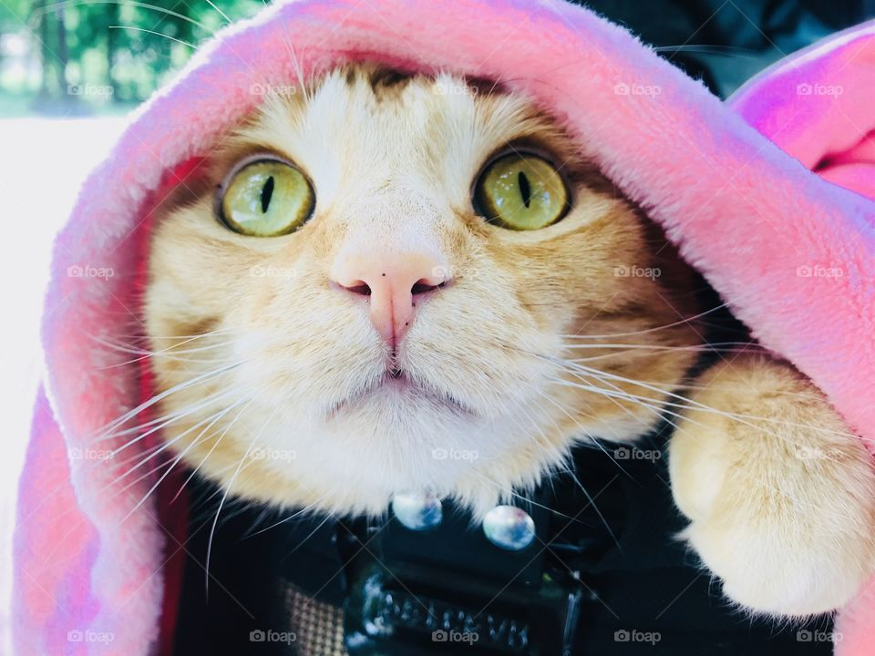 Gorgeous silt orange tabby cat looking out with bright eyes from underneath pink blanket!