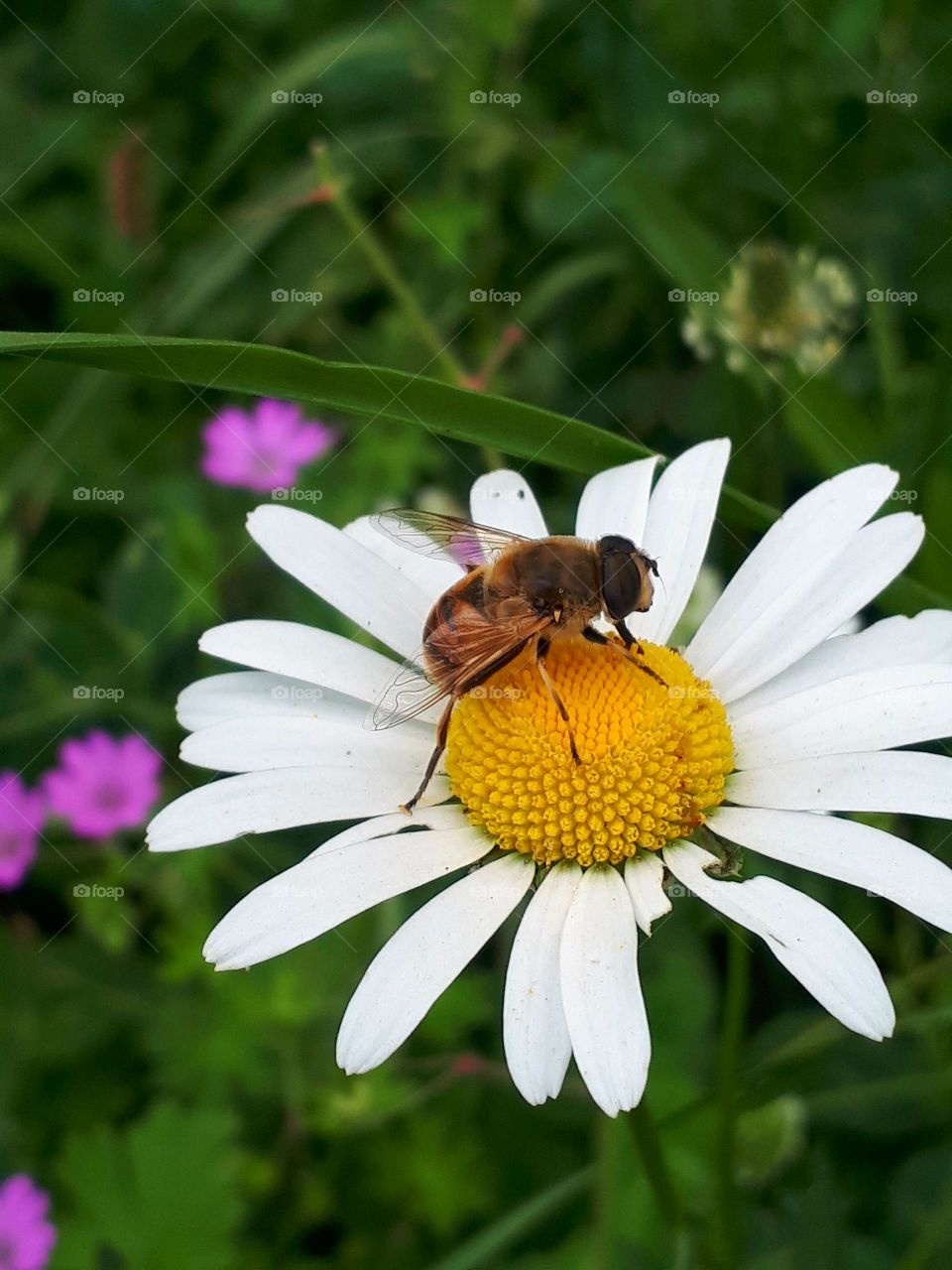 Bumblebee on a chamomile flower